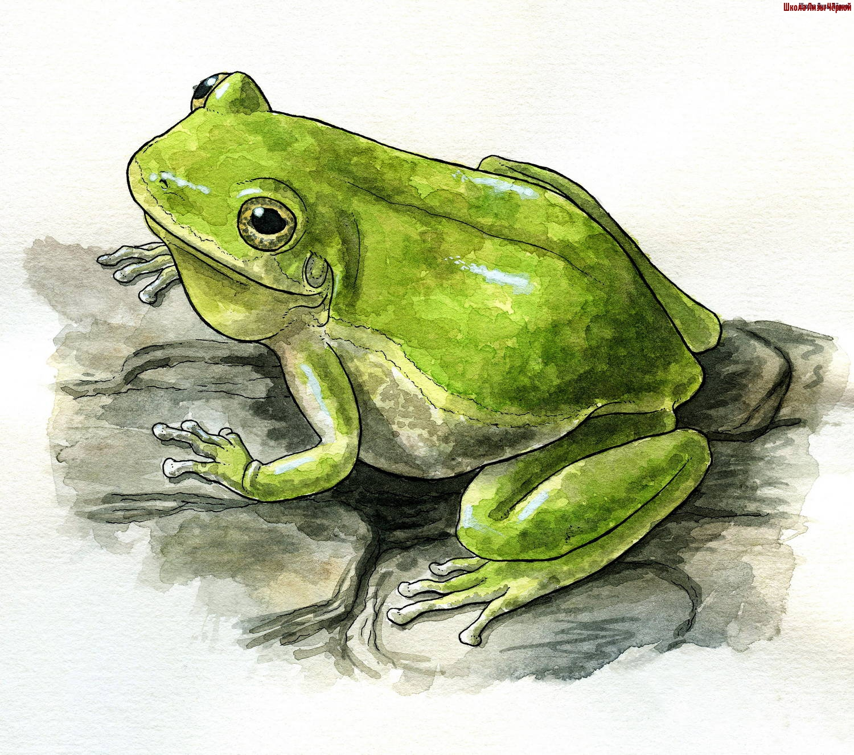 варки, картинки лягушки простые декларация подробности
